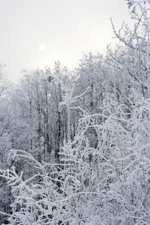 Snow-covered forest with sun Stock Photo