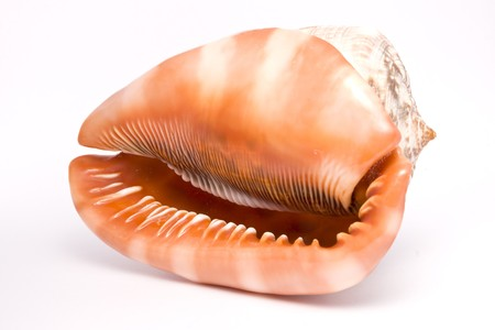 Closeup of seashell isolated on white background