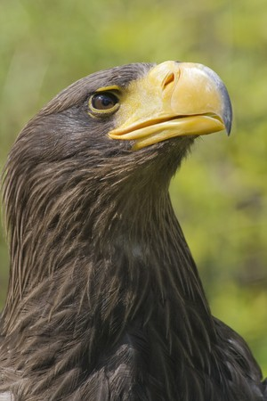 Closeup of Stellers Sea Eagle, Haliaeetus pelagicus Stock Photo
