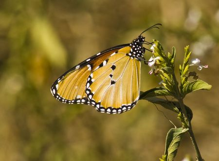 Plain Tiger (Danaus chrysippus) ,african monarch butterfly.