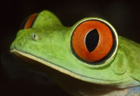 Detail of head of red eyed tree frog(Agalychnis callydrias)