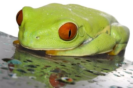 Red eyed tree frog(Agalychnis callydrias) on wet glas with white background Stock Photo