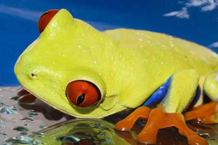 glas: Red eyed tree frog on wet glas with blue sky background