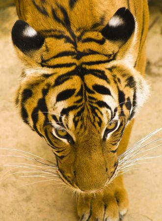 Top view of tiger head( Panthera tygris)