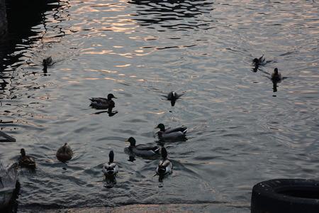 lake como: Ducks in Lake Como