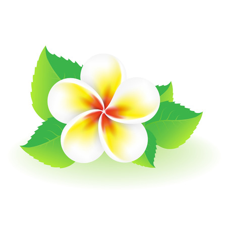 Frangipani tropical flower   Vector