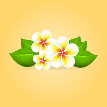 Frangipani tropical flower.