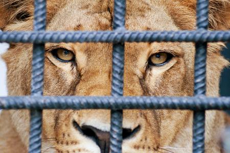 Lioness looking through zoo bars  Standard-Bild