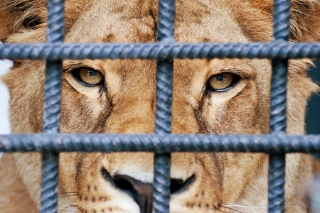 cruel zoo: Lioness looking through zoo bars  Stock Photo
