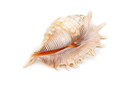Sea Shell on white background.