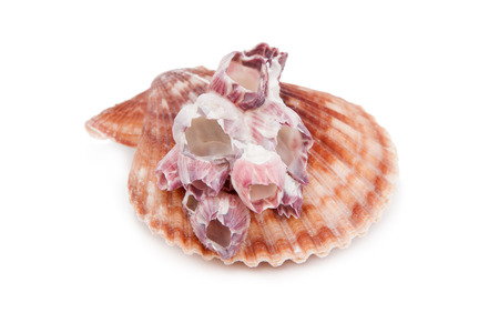 Sea Shell on white background. photo