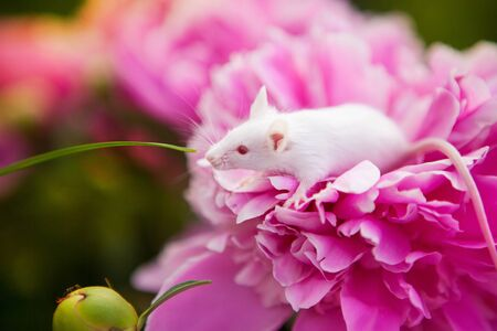 White mouse sitting on a pink pion flower