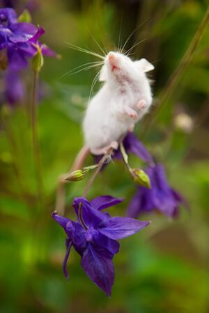 White mouse sitting on a blue bell flower