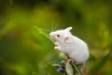 White mouse sitting on a green branch of honeysuckle berry