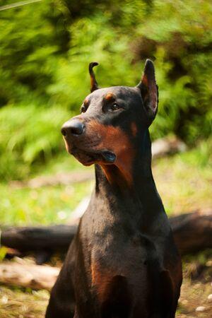 Beautiful dog breed Doberman on nature in sammer