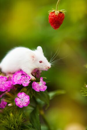 White mouse sitting on a purple flower Stock Photo