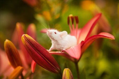 White mouse sitting on a orange lily flower Stock Photo