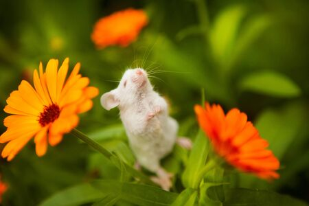 White mouse sitting on a orange flower