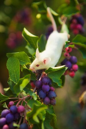White mouse sitting on a green branch of shadberry