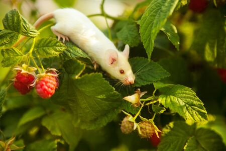 White mouse sitting on a green branch of raspberry