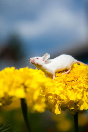 White mouse sitting on a yellow flower