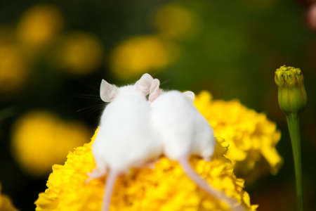 White mouses sitting on a yellow flower