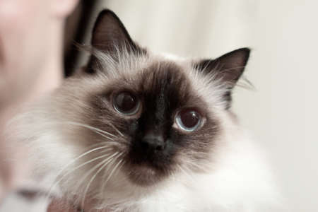 Very fluffy Siamese cat with blue eyes