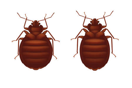 Red bedbug isolated on wihte background. Female and male bedbugs.