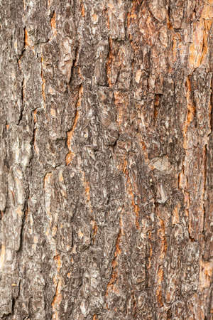 Bark of tree. Pine tree bark texture. Aged and dry tree bark. Rough material. Gray and red bark.