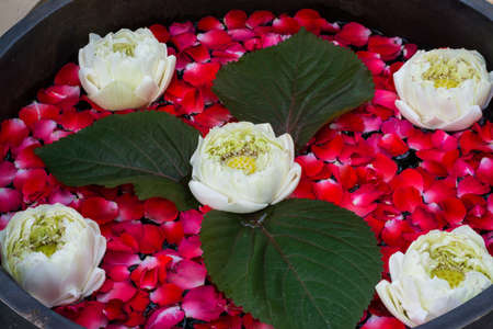 white lotus floating with petals of rose infront spa in Thailand photo