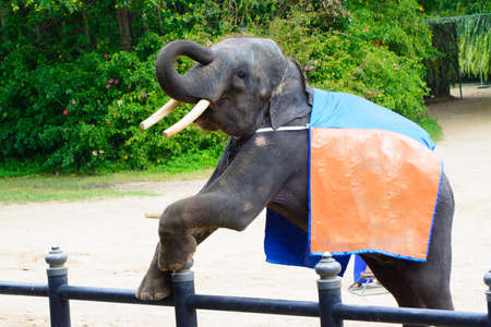 greeting people: funny elephant with orange cloth on her back greeting people Stock Photo