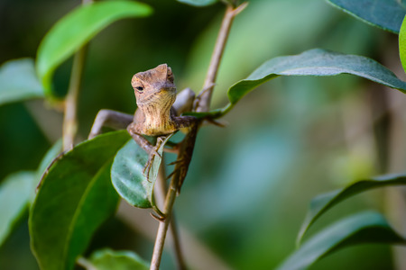 chameleon lizard: scary brown chameleon lizard on green leafs Stock Photo