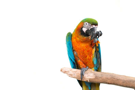green winged macaw: colorful parrot standing on a branch isolated on white background
