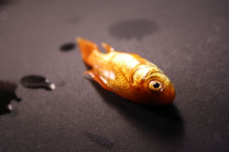 pez dorado: muertos dorada sobre fondo negro