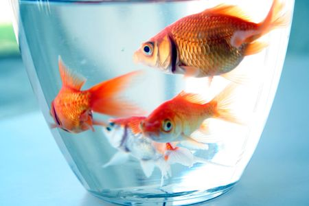 aquaria: goldfishes in cup Stock Photo
