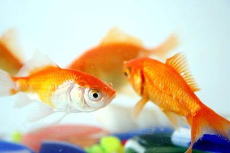 aquaria: goldfishes Stock Photo