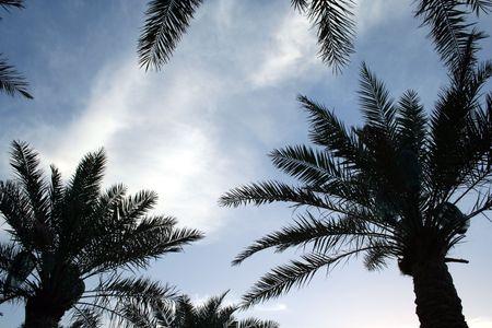 kuwait: Palm trees on coast in kuwait