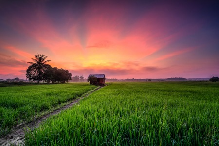 Beautiful view of rice paddy field during sunrise in Malaysia. Stock Photo