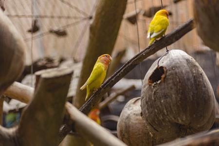 A Love bird at the branch inside the cage at Taman rama-rama, melaka