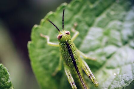 Close up of the Grasshoppers standing on green leaves with black background. Selective focus  on green leaf. Banco de Imagens