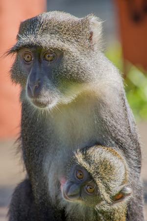 A Monkey holding its Baby Stock Photo
