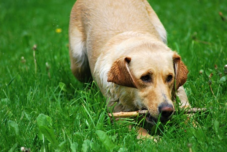 Young dog playing with small stick. Stock Photo - 9277758
