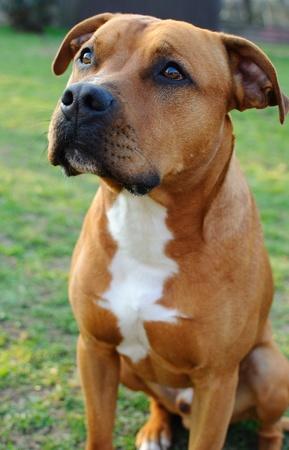 pitbull: Detail image of head of brown bull terrier.