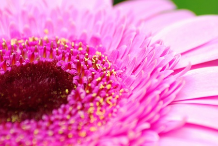 Closeup shoot of blow of pink gerbera. photo