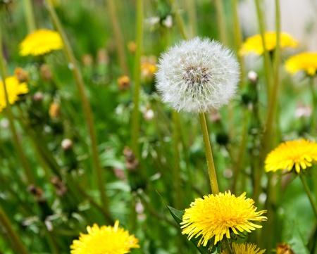 Detail image of white dandelion.