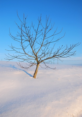 Alone tree at winter meadow. photo