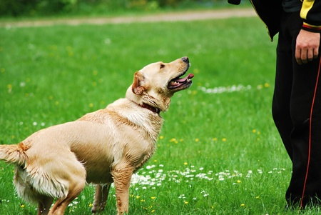 dog owner: Training of the young nice dog.