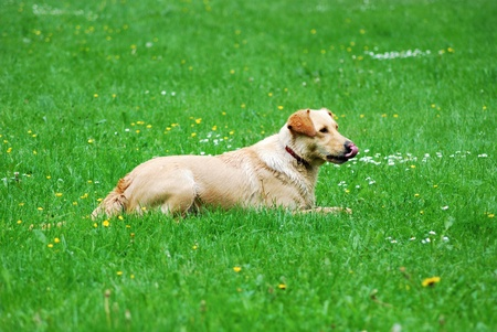 Lying dog on the grass after his play with sticks. Stock Photo - 9321236