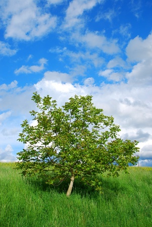Alone tree at summer green meadow. Stock Photo - 9327605