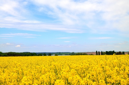 Spring meadow with many yellow field mustard. Stock Photo - 9536504